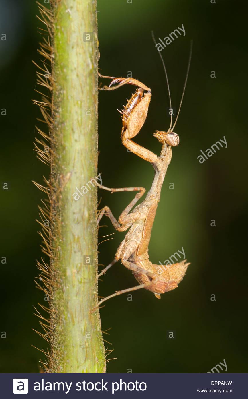 Nymphe Acromantis SP. Mantis. Acromantis ist eine Gattung der Gottesanbeterin in die Unterfamilie Acromantinae der Familie Hymenopodida Stockbild