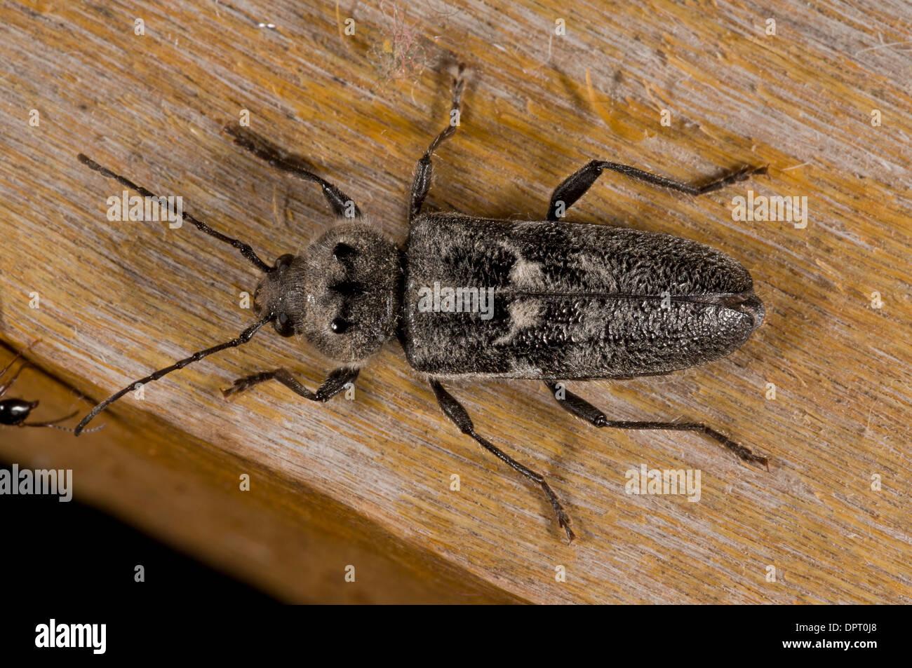 Altes Haus Borer Oder Haus Longhorn Beetle Hylotrupes Bajulus Auf