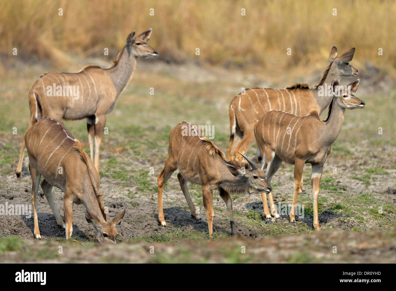 Gr ere kudu antilope tragelaphus strepsiceros kleine for Kleine esstisch gruppe
