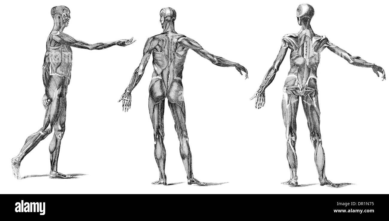 Charmant Muskeln Des Menschlichen Körpers Bilder Bilder ...