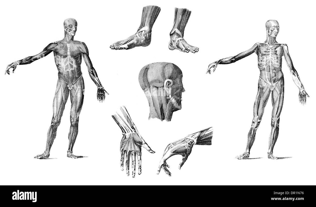Groß Muskel Bilder Des Menschlichen Körpers Zeitgenössisch ...