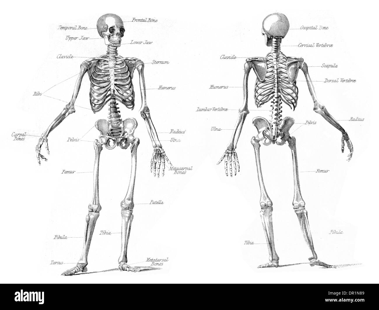 Anatomie und Physiologie menschliches Skelett Stockbild