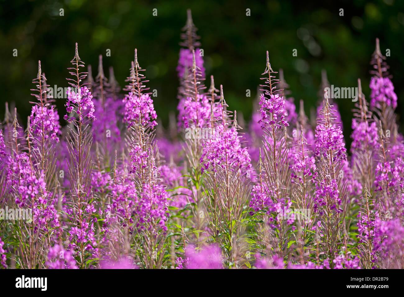 Rose Bay Weidenröschen, Epilobium Angustifolium mehrjährige Wildblumen, reichlich auf neu klar und verbrannte Bereiche.  SCO 9245 Stockbild