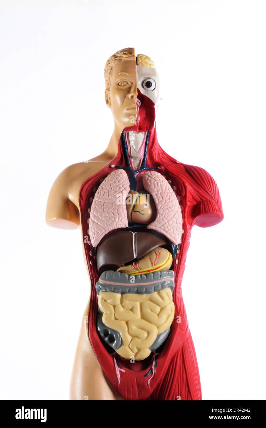 Anatomie-Modell zeigt die inneren Organe Stockfoto, Bild: 65858130 ...
