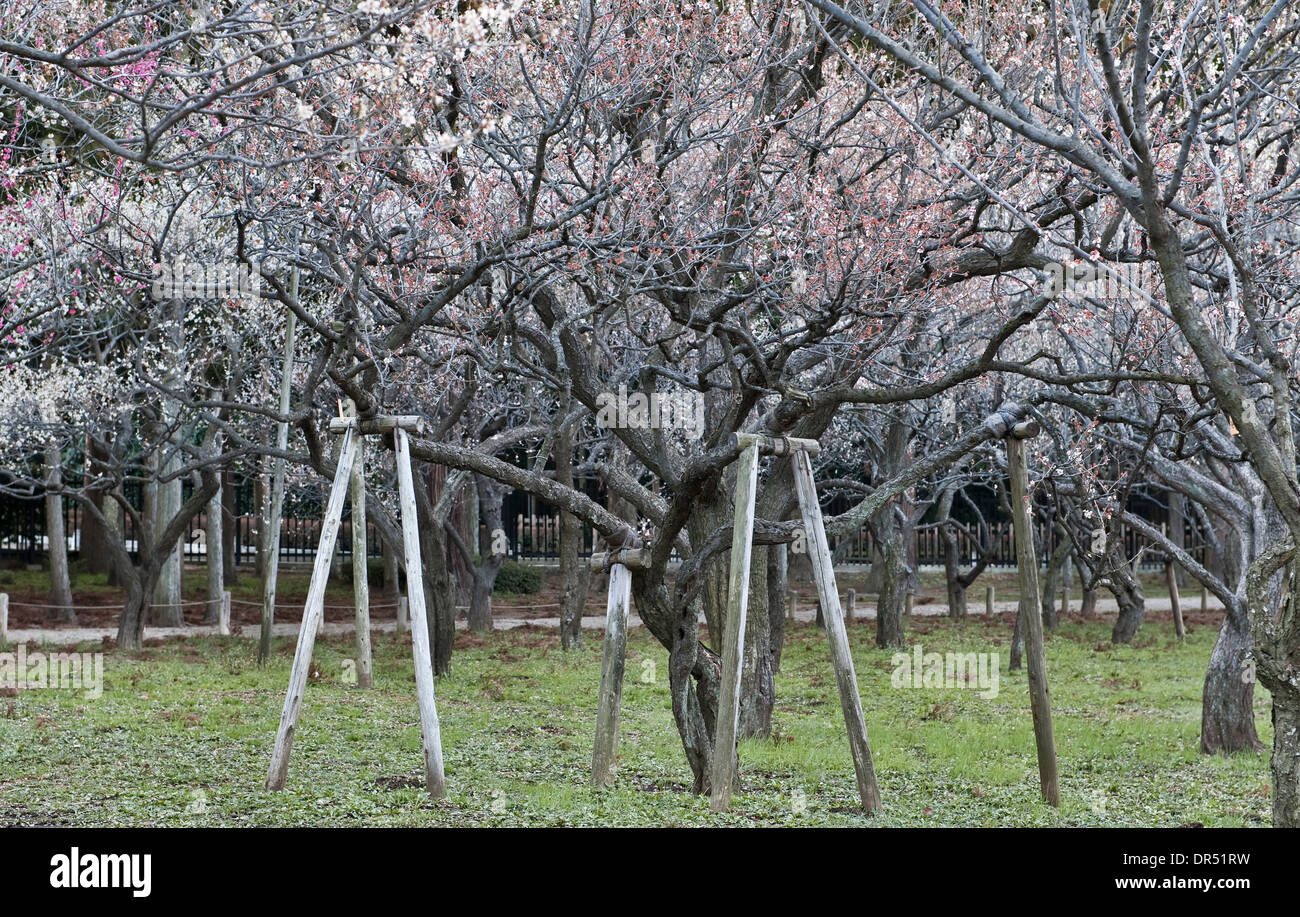 Mito, Japan. Pflaumenblüte im Frühjahr in den Gärten der Kairaku-En, eines der drei großen Gärten Japans Stockbild