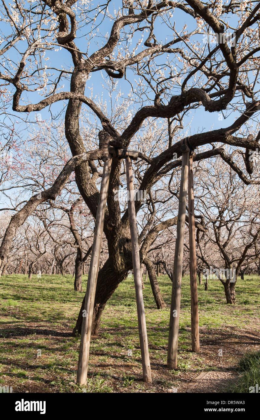 Hölzernen Requisiten unterstützen einen alten Pflaumenbaum (Prunus Mume) im Garten von Kairaku-En, Mito, Japan Stockbild