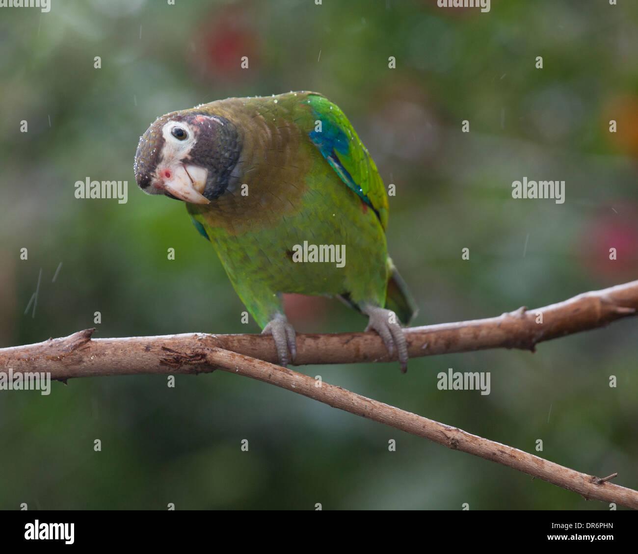 Braun mit Kapuze Papagei (Pyrilia Haematotis) thront auf Zweig Stockbild