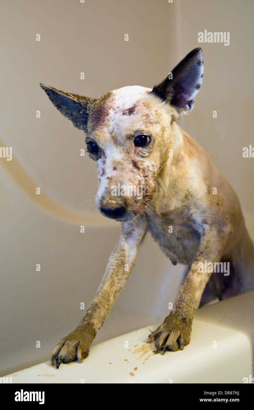 Dirty Jack-Russell-Terrier in Badewanne Stockbild