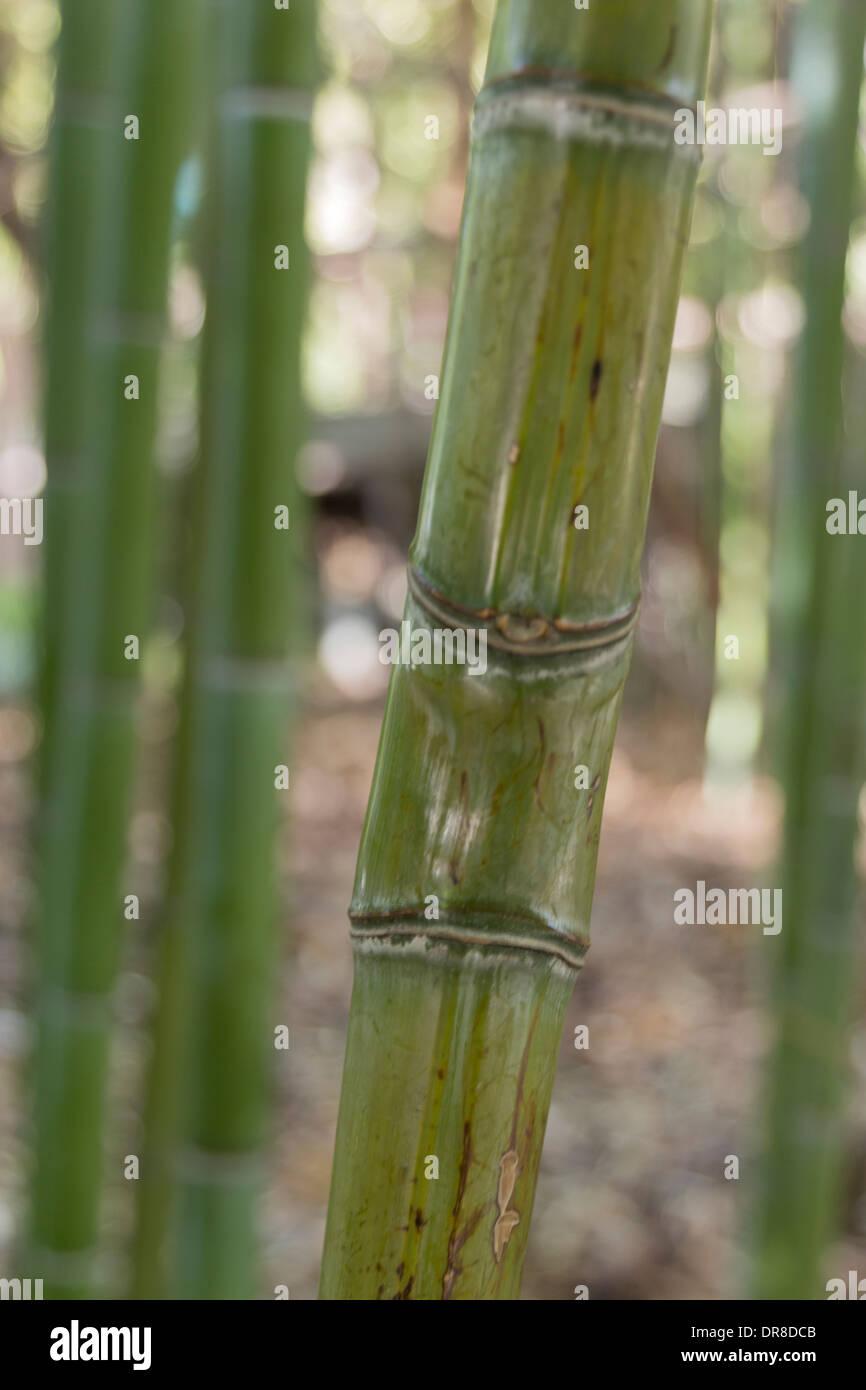 Bambus, die gemeinsame Stockbild