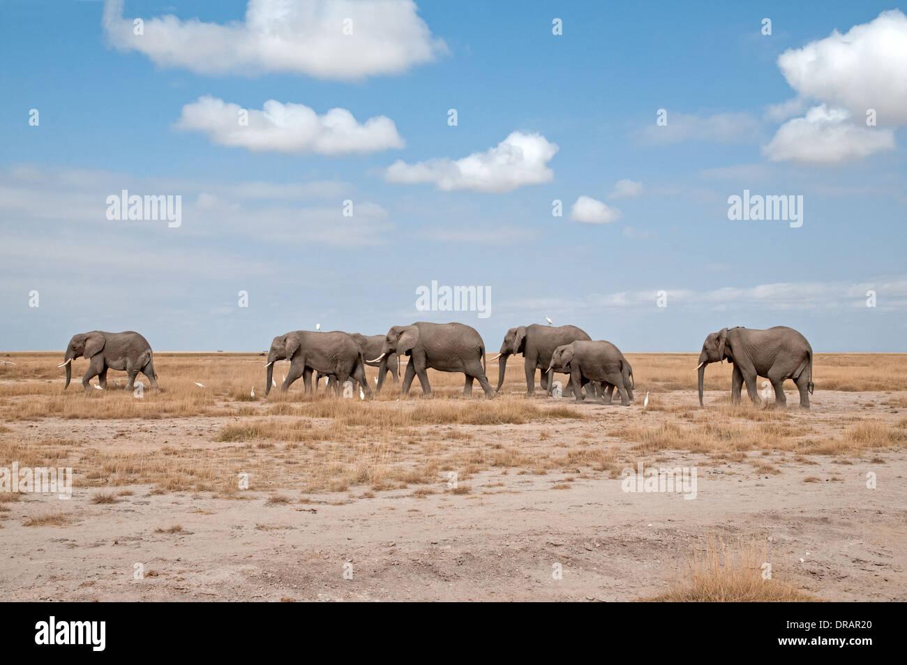 Familie Herde von Erwachsenen weiblichen Elefanten und Waden unterwegs über die Prärie der Amboseli Nationalpark Kenia in Ostafrika Stockbild
