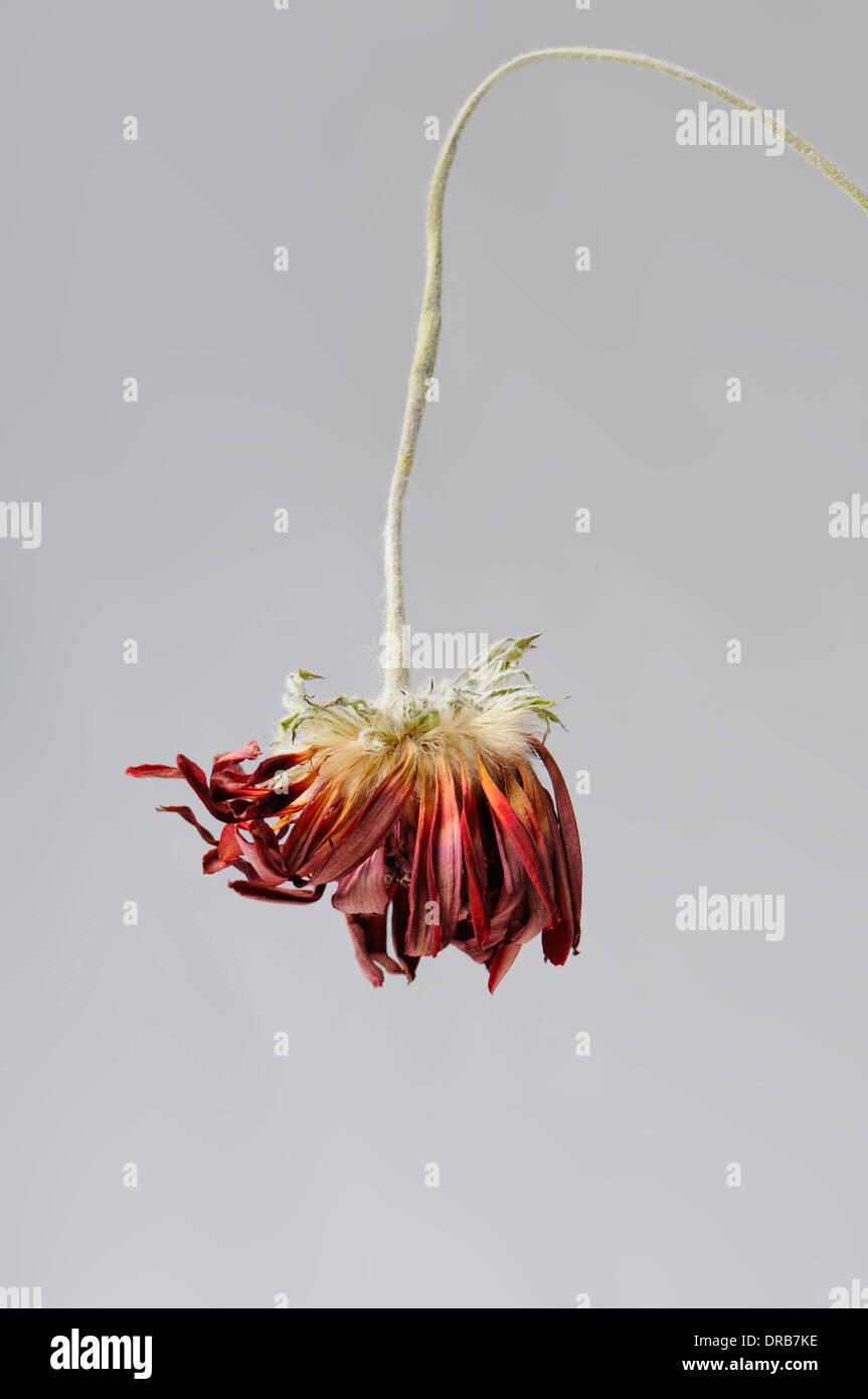 Dying Bloom Stockfotos & Dying Bloom Bilder - Alamy