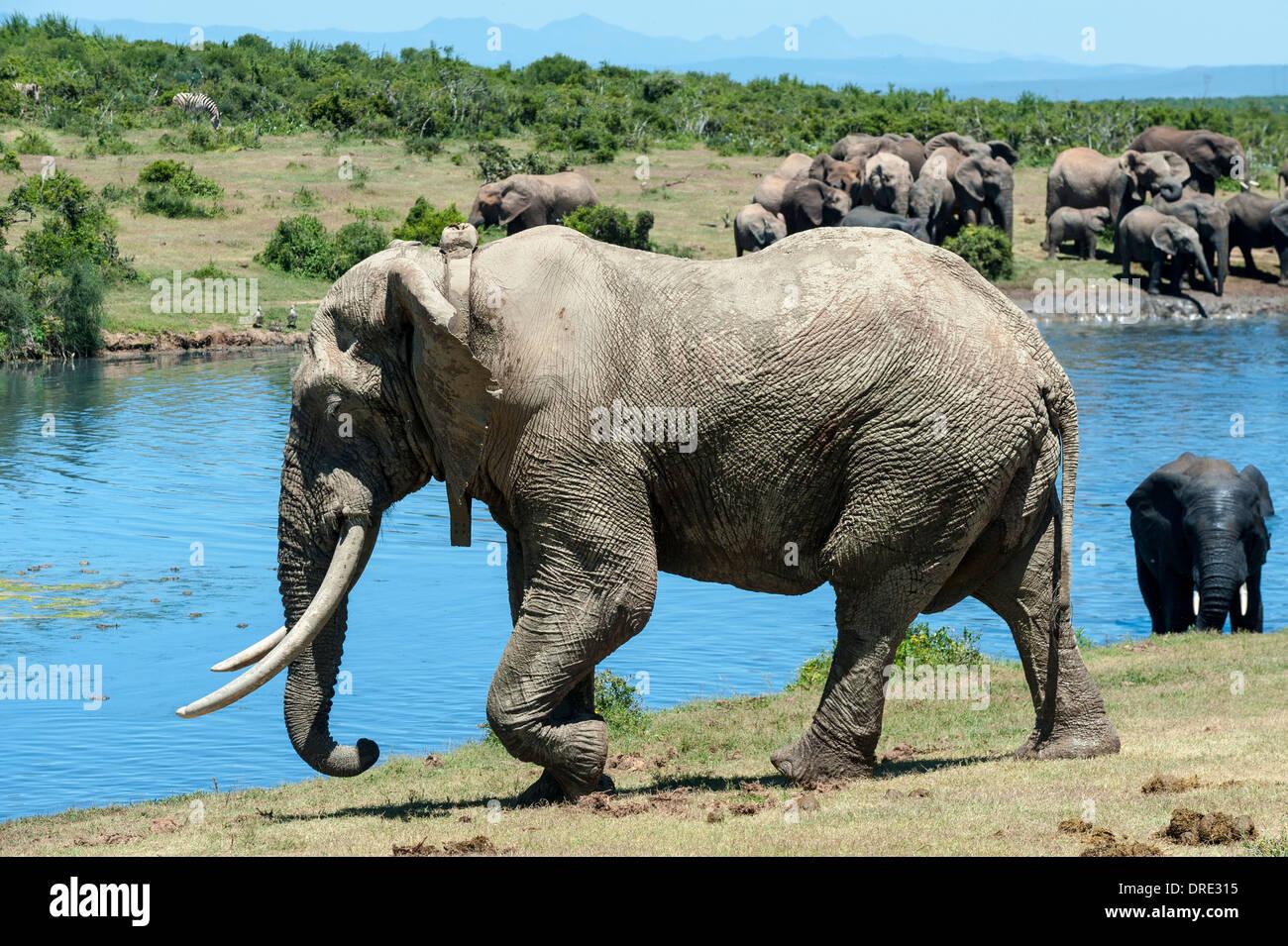 Elefant Stier (Loxodonta Africana), mit tracking-Kragen in Gwarrie Pan Wasserloch, Addo Elephant Park, Eastern Cape, Südafrika Stockbild