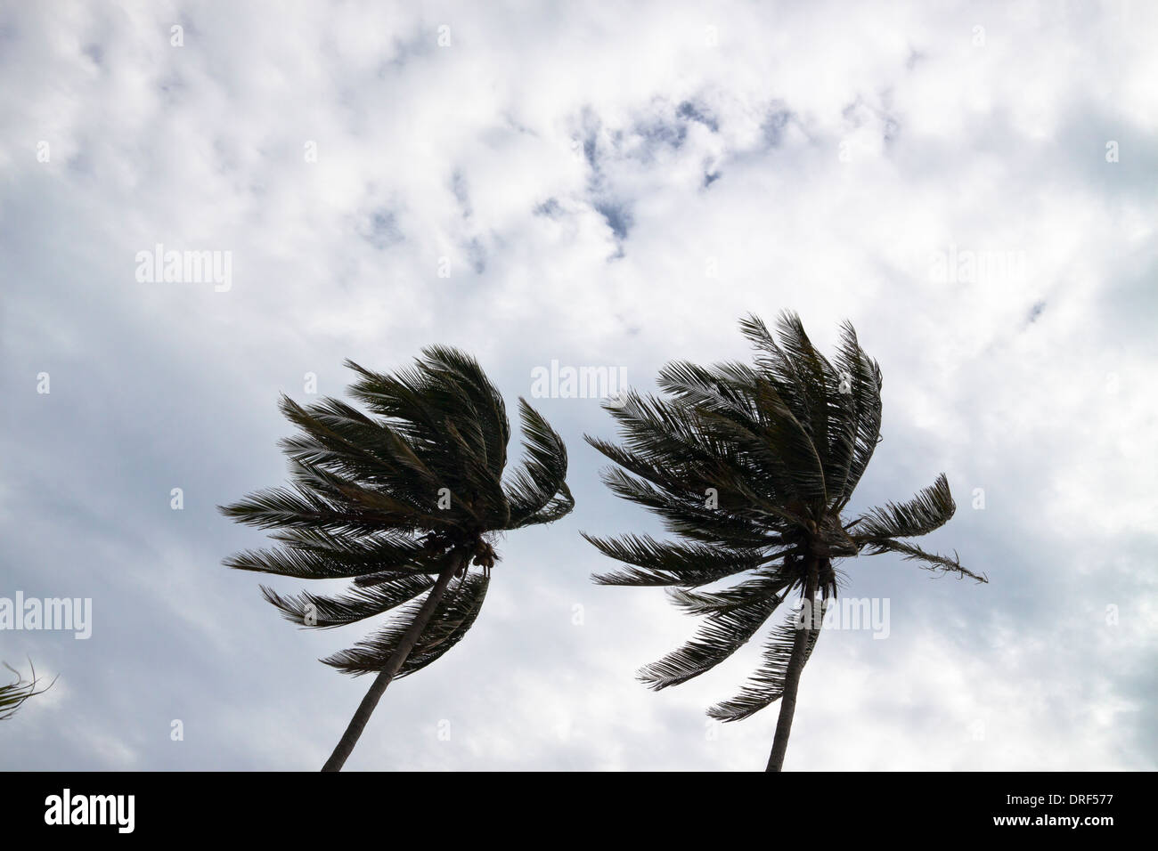Kokosnuss-Palmen biegen bei starkem Wind. Stockbild