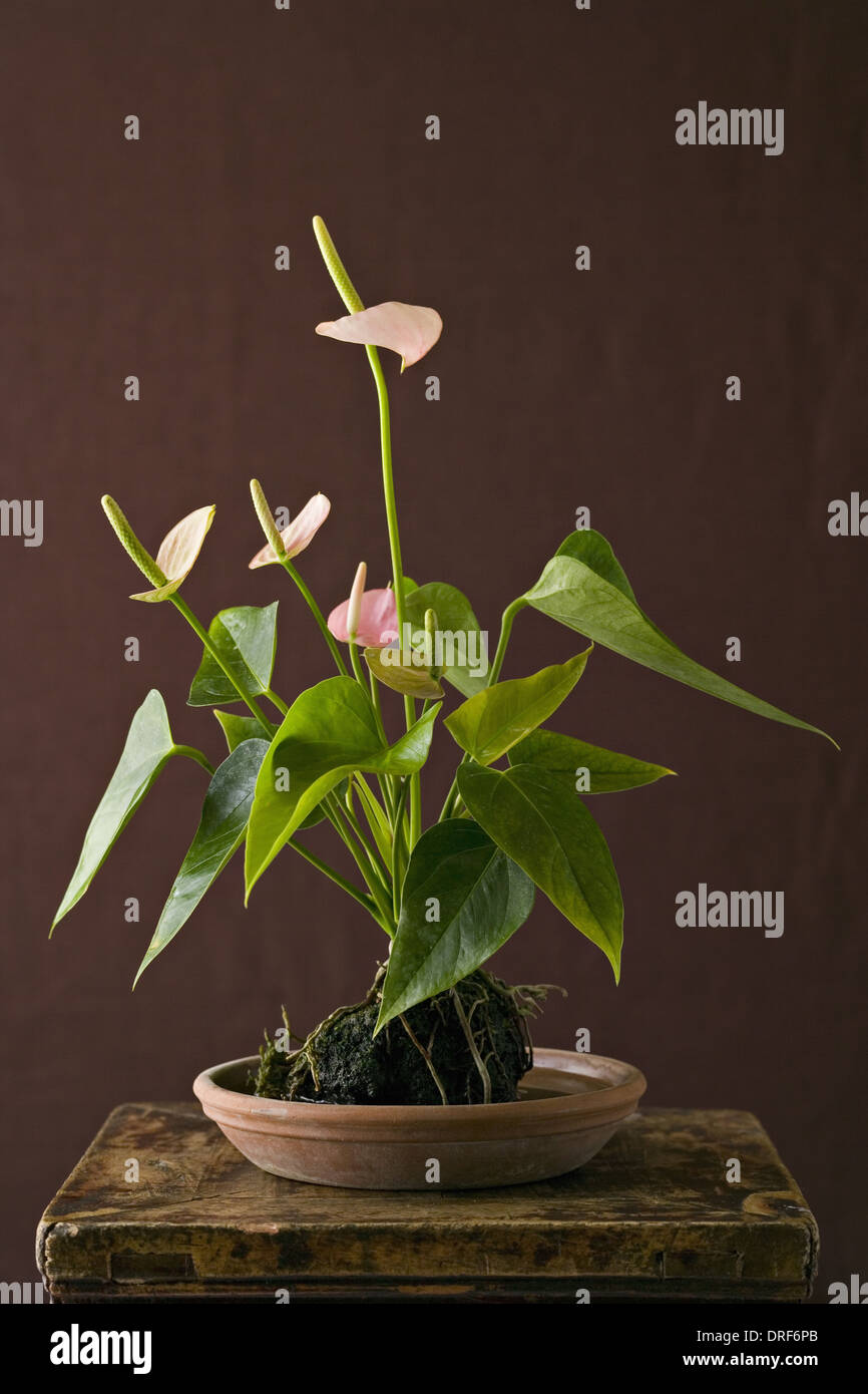 anthurium leaves stockfotos anthurium leaves bilder alamy. Black Bedroom Furniture Sets. Home Design Ideas
