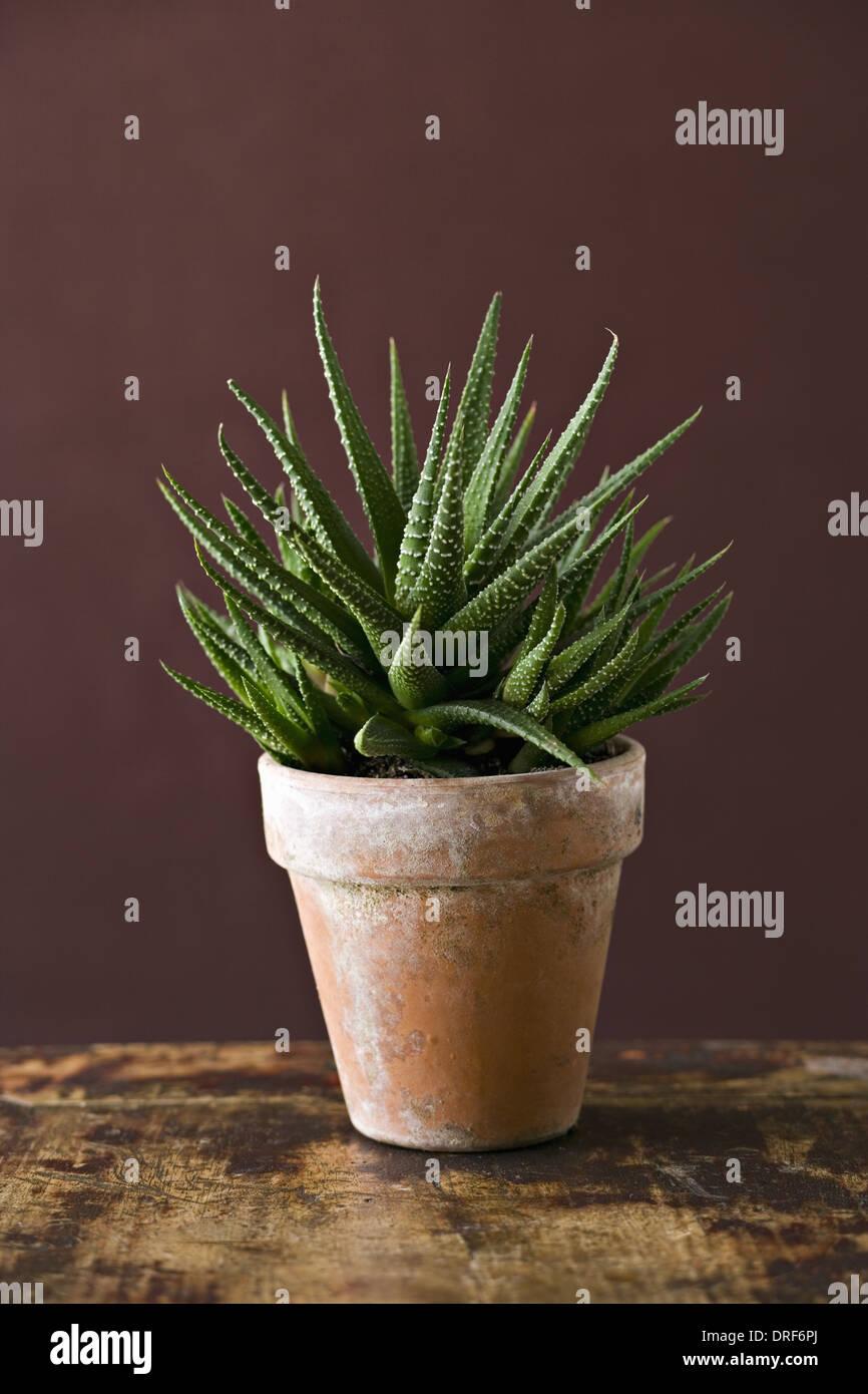 Maryland usa zimmerpflanze kaktus sukkulenten stacheligen gr nen bl ttern stockfoto bild - Kaktus zimmerpflanze ...