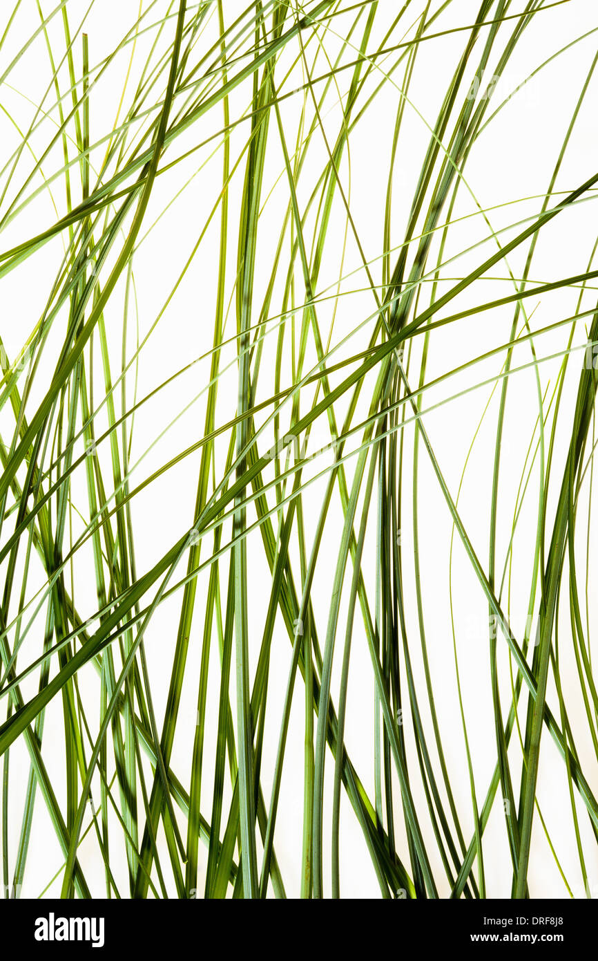 Maryland USA dünne grüne Blätter Pflanze vor weißem Hintergrund Stockbild