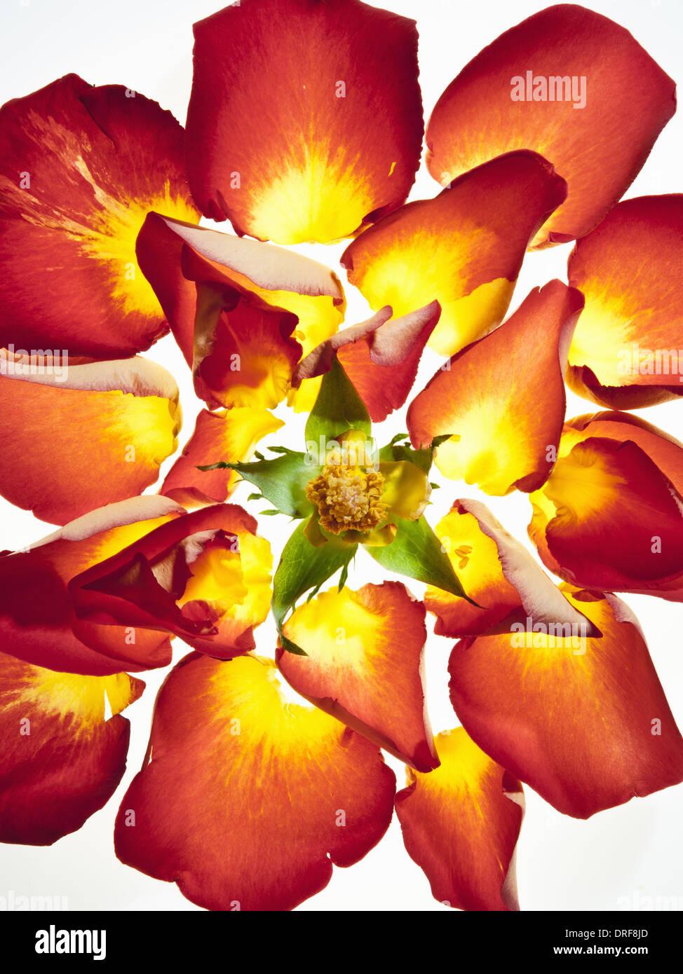 Maryland USA Flowerhead mit lebendigen Orangen und gelben Blütenblättern Stockbild