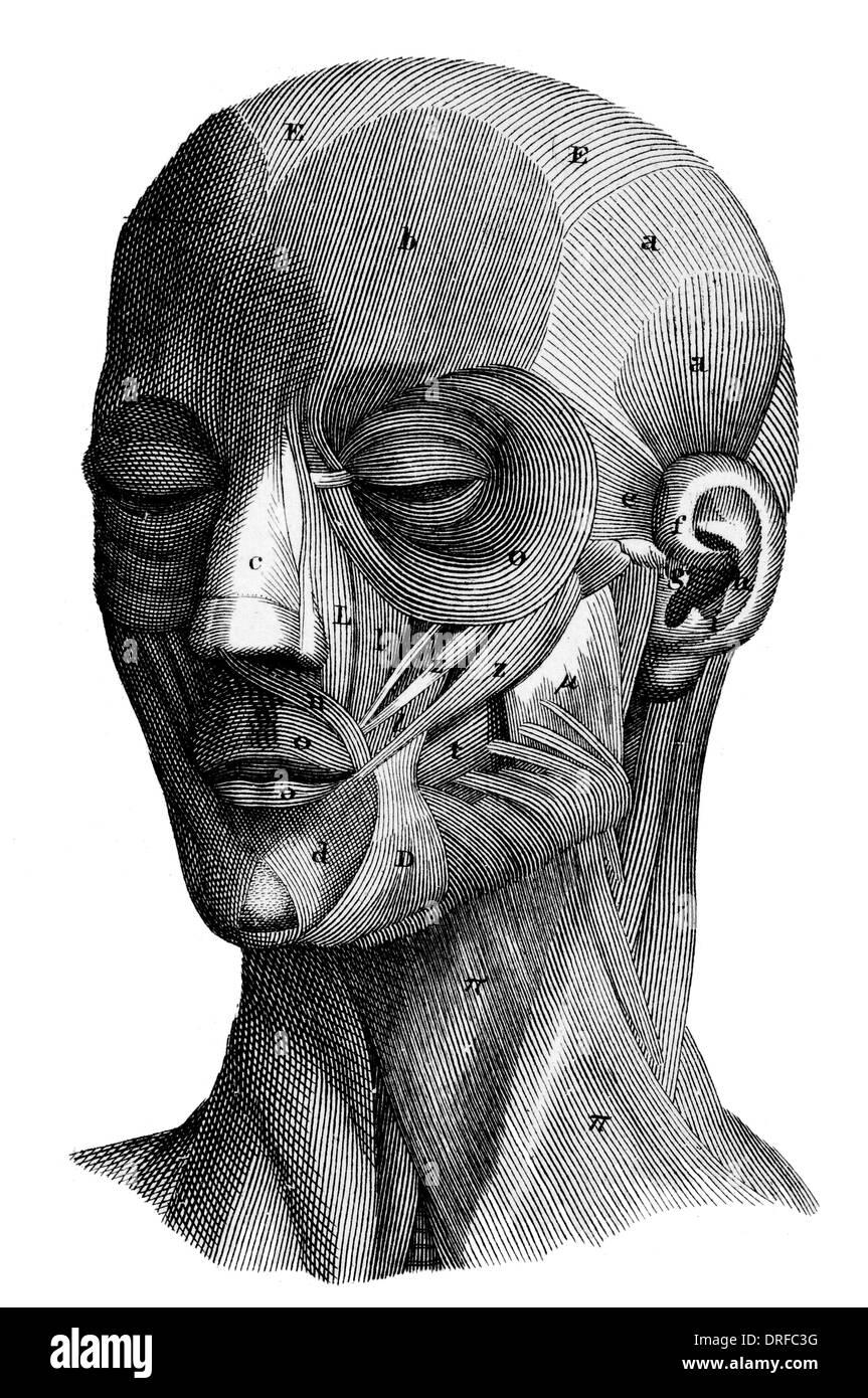 Muskeln im menschlichen Kopf Stockfoto, Bild: 66106980 - Alamy