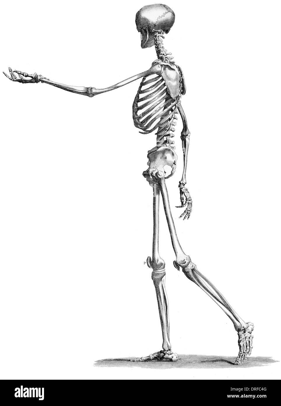 Seite Ansicht stehende Skelett des menschlichen Körpers Stockbild