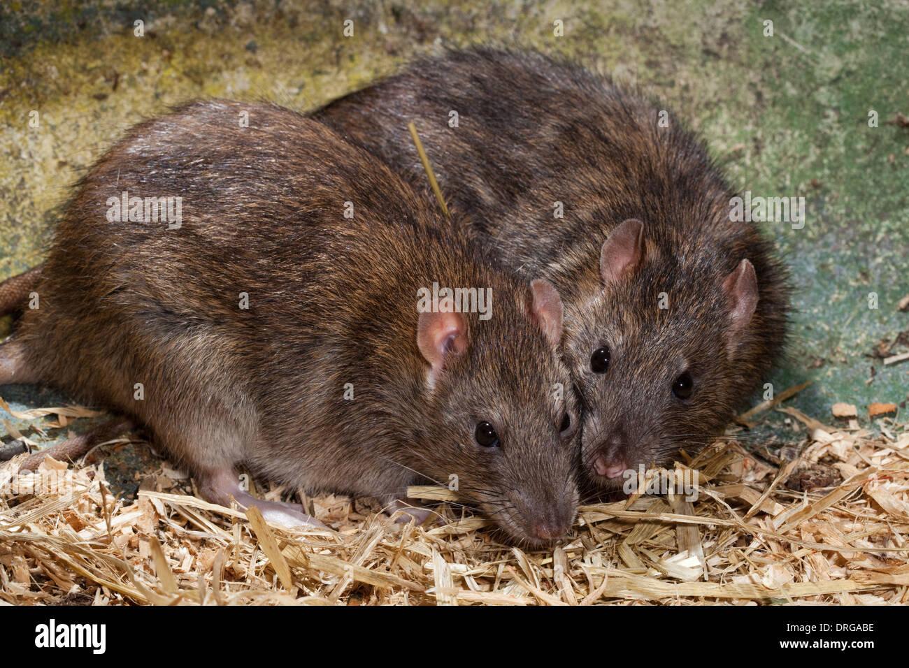 Braun oder Norwegen, Ratten (Rattus Norvegicus). Stockbild