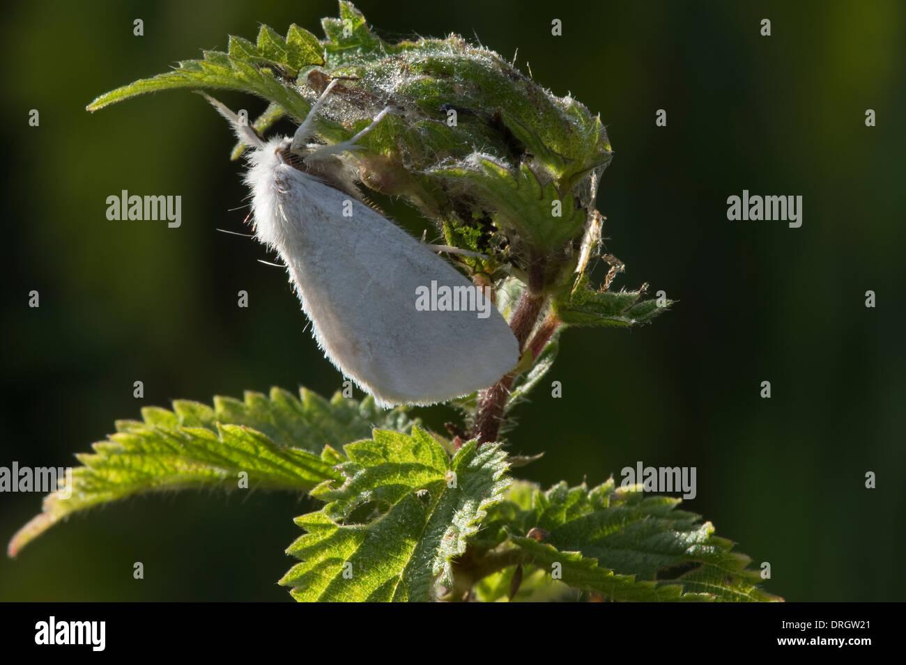 Gelb-Tail, Goldtail Motte oder Swan Moth (Euproctis Similis) beruht auf der Brennnessel Preston Montford Shrewsbury Shropshire, England Stockbild