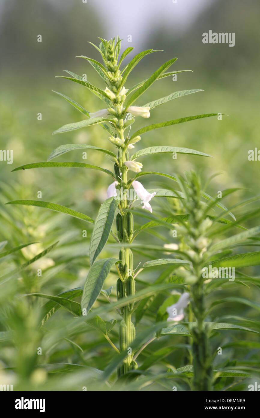 Top Sesam-Pflanze Stockfoto, Bild: 66224349 - Alamy &GW_47