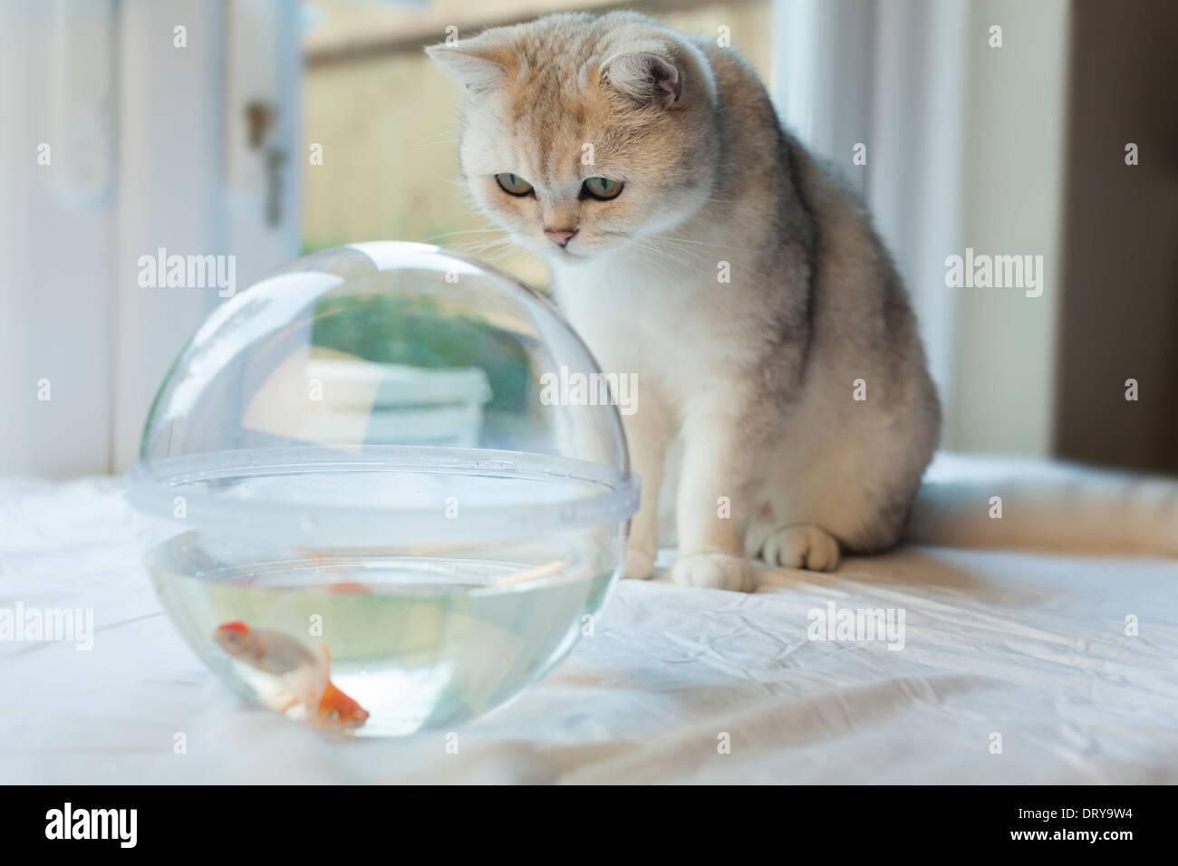 Weiße Katze fasziniert von Goldfische in einem Aquarium Stockbild
