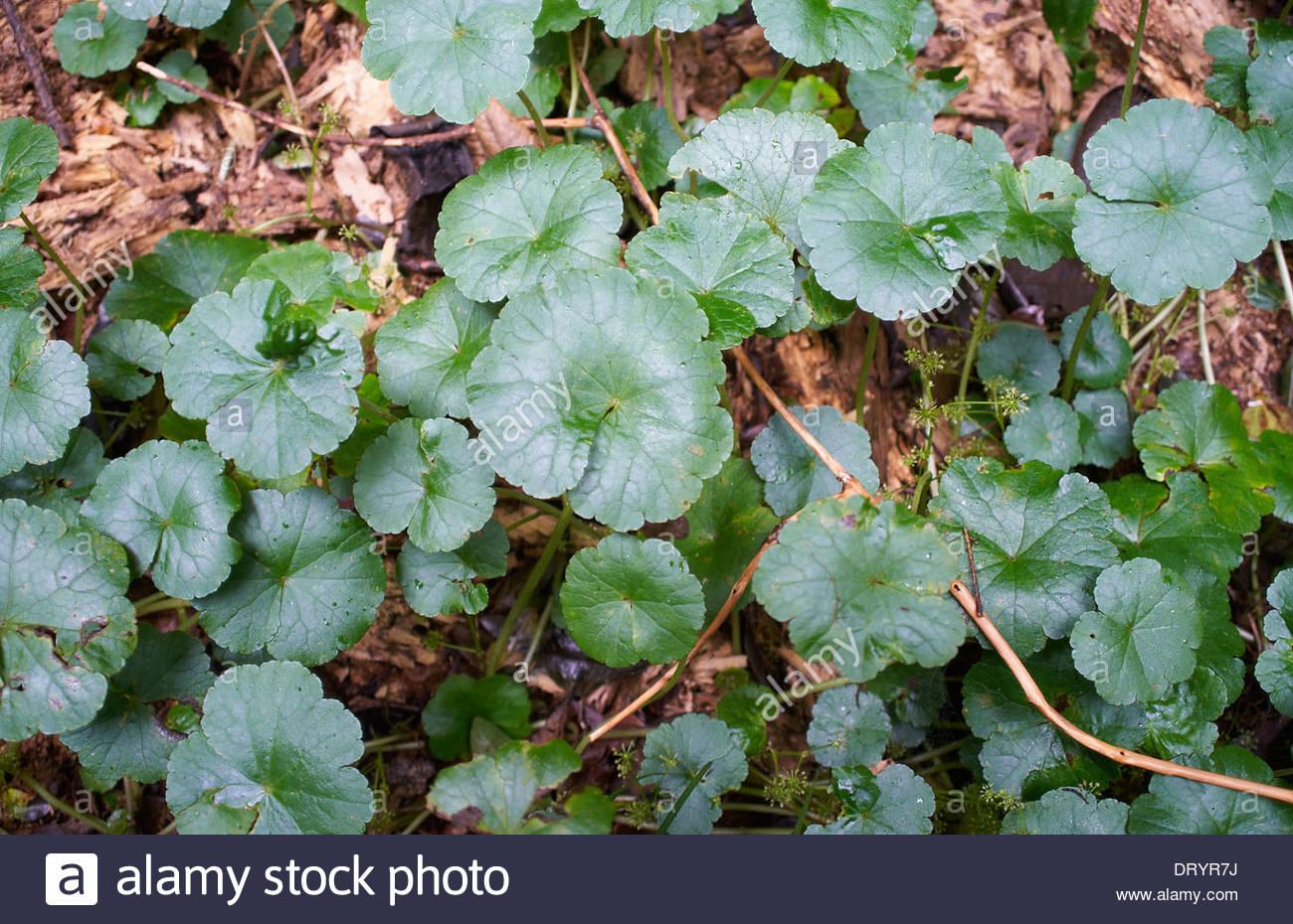 Hydrocotyle pedicellosa (APIACEAE); große Pennywort - Eine kleine - Blätterte Bodendecker in der Border Ranges National Stockfoto