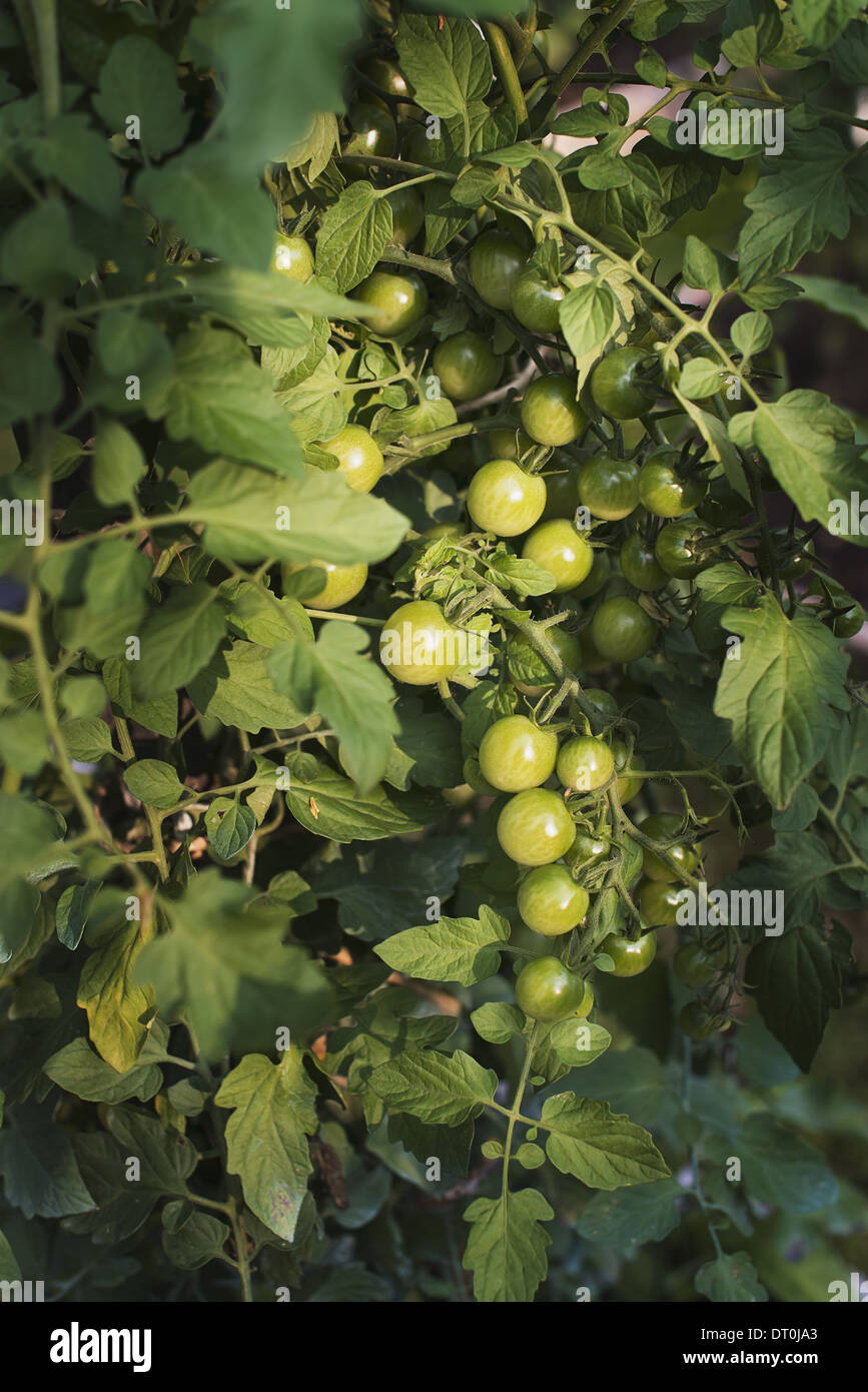 Woodstock New York USA Tomatenpflanzen tragen Früchte wachsen in Folientunnel Stockbild