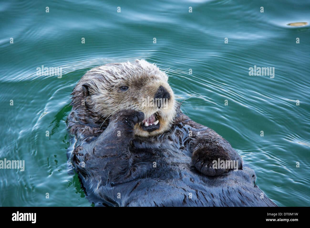 Cute Sea Otter, Enhydra Lutris, wieder im Wasser liegend und Gähnen mit Pfote auf seinem Gesicht, Ort Harbor, Alaska, USA Stockbild