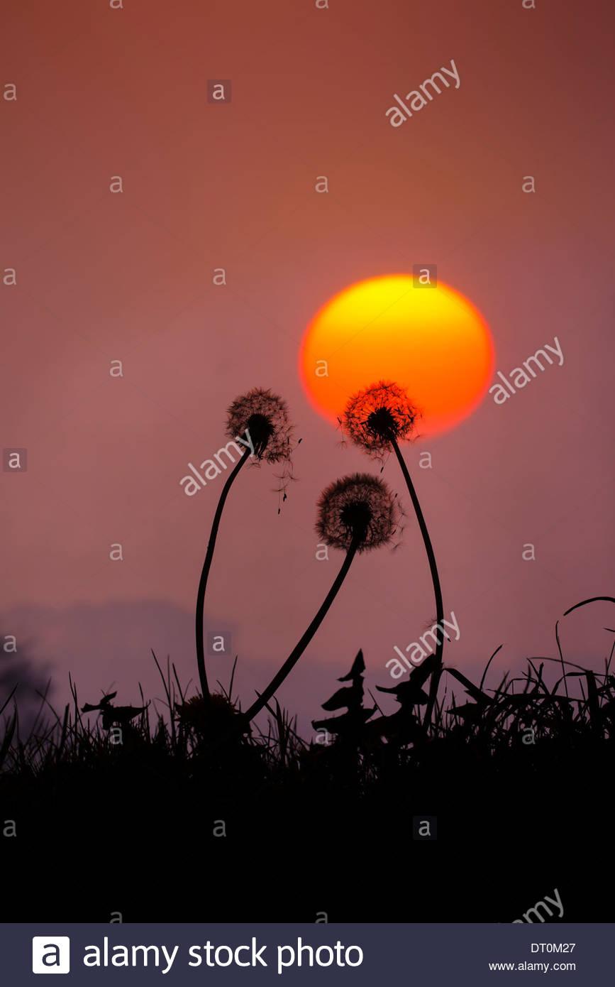 Gemeinsamen Löwenzahn, Taraxacum Officinale, Saatgut Kopf Uhren, gegen Sonnenuntergang, Norfolk, England, Oktober, Stockbild