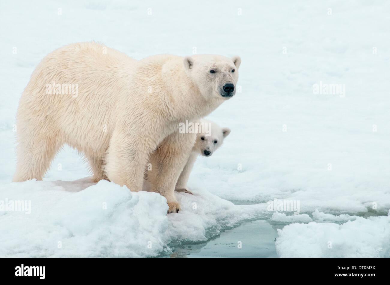 Eisbär-Mutter mit Jungtier versteckt sich hinter ihr, Ursus Maritimus, Olgastretet Packeis, Spitzbergen, Svalbard Stockbild