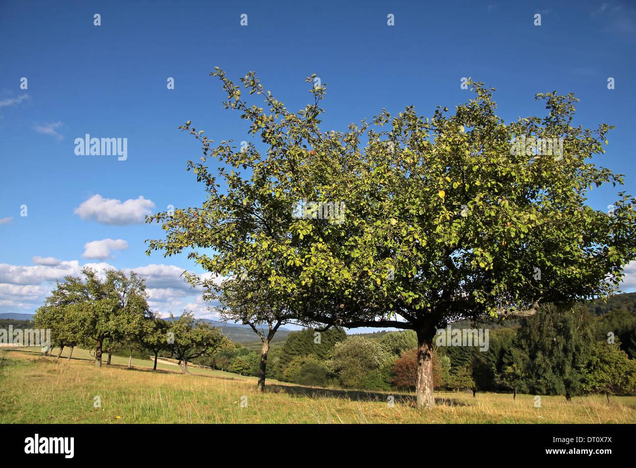 Alten Obstbaum im Obstgarten in der Sommerzeit in Deutschland Stockbild