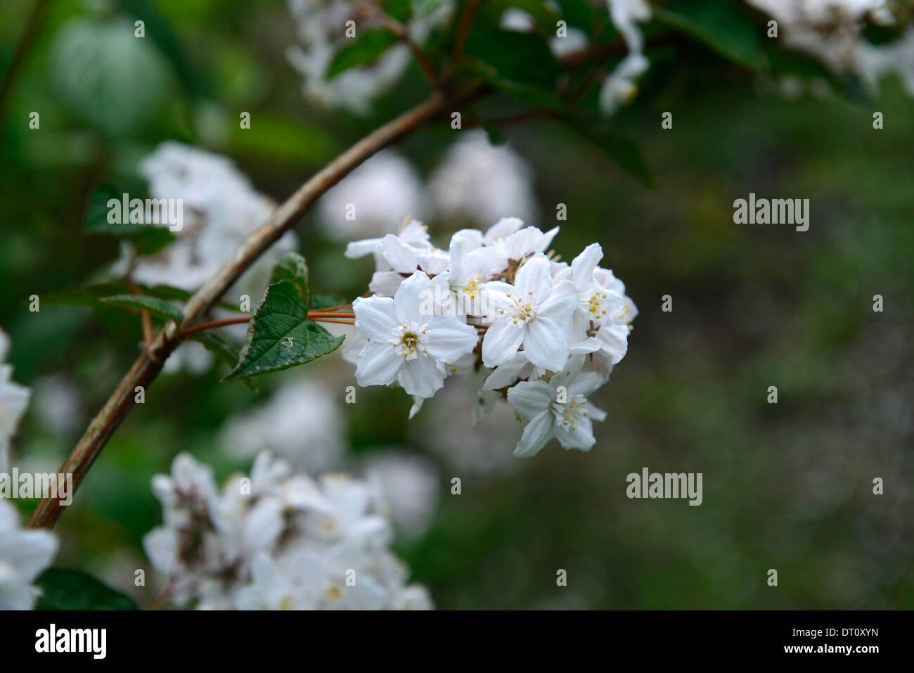 deutzia elegantissima stockfotos deutzia elegantissima bilder alamy. Black Bedroom Furniture Sets. Home Design Ideas