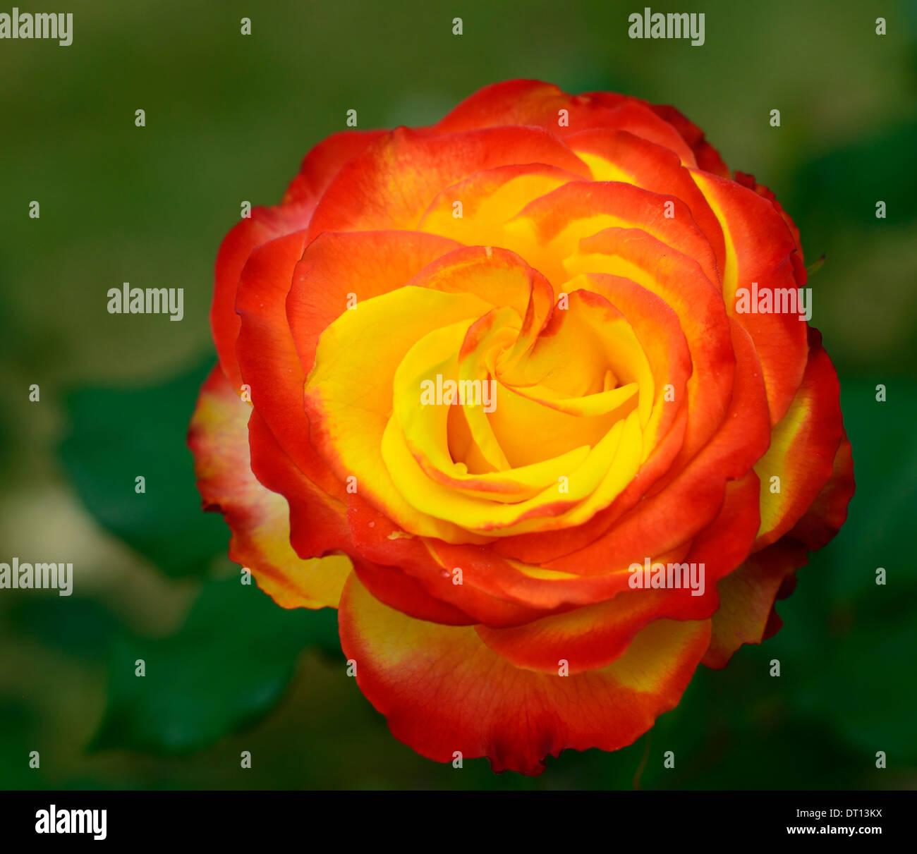 Rosa Strauchrose Tequila Sunrise Dicobey Rosen Orange Rot Gelb Blume
