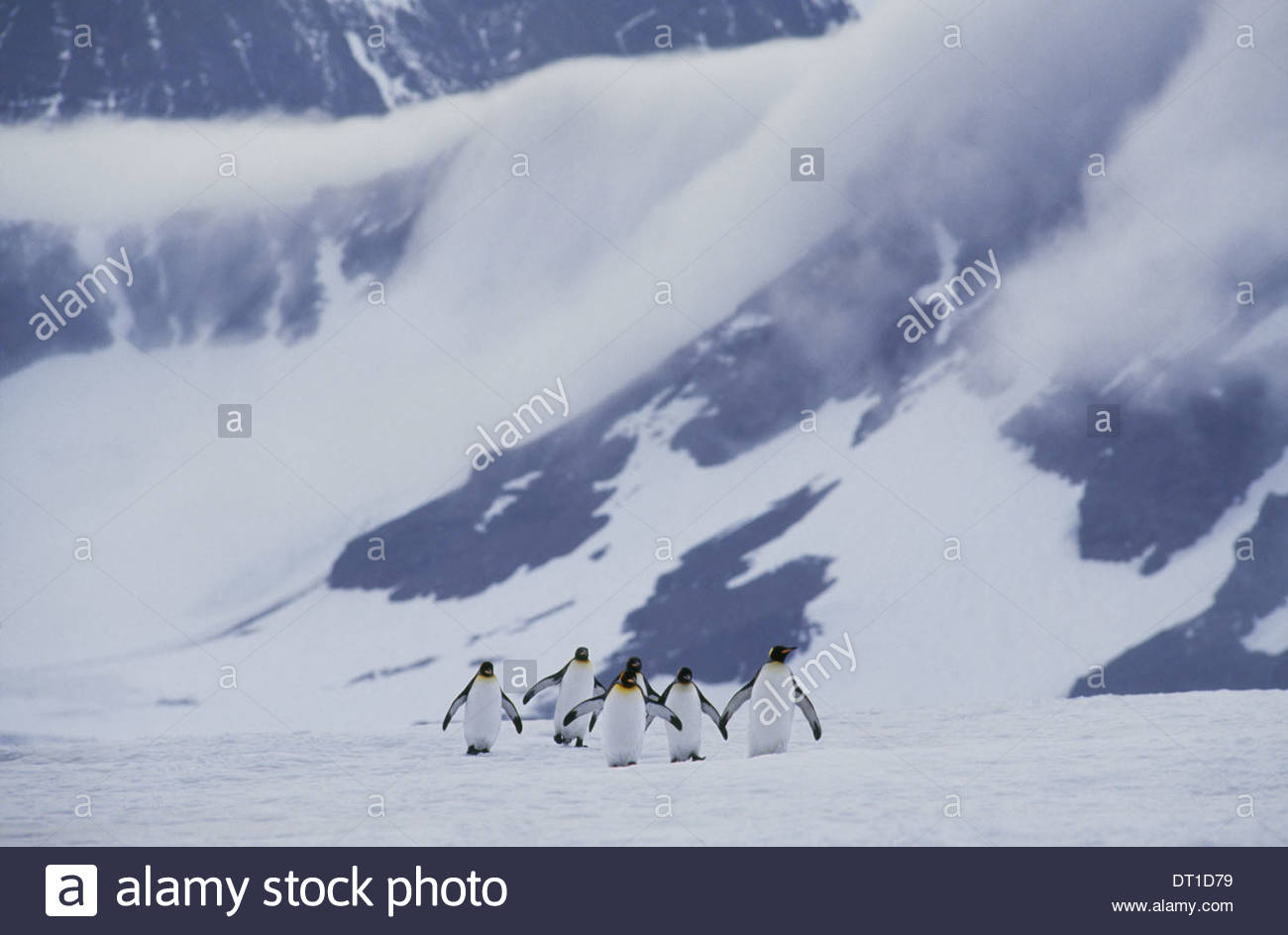 South Georgia Island Königspinguine überqueren Eis Aptenodytes patagonicus Stockbild
