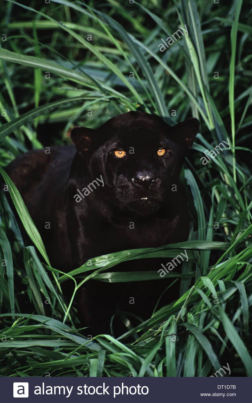 Brasilien-Black Jaguar Pantheronca Brasilien Stockbild