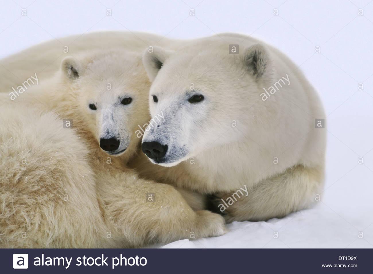 Hudson Bay Kanada Polar bear mit Cub Ursus Maritimus Hudson Bay Stockbild