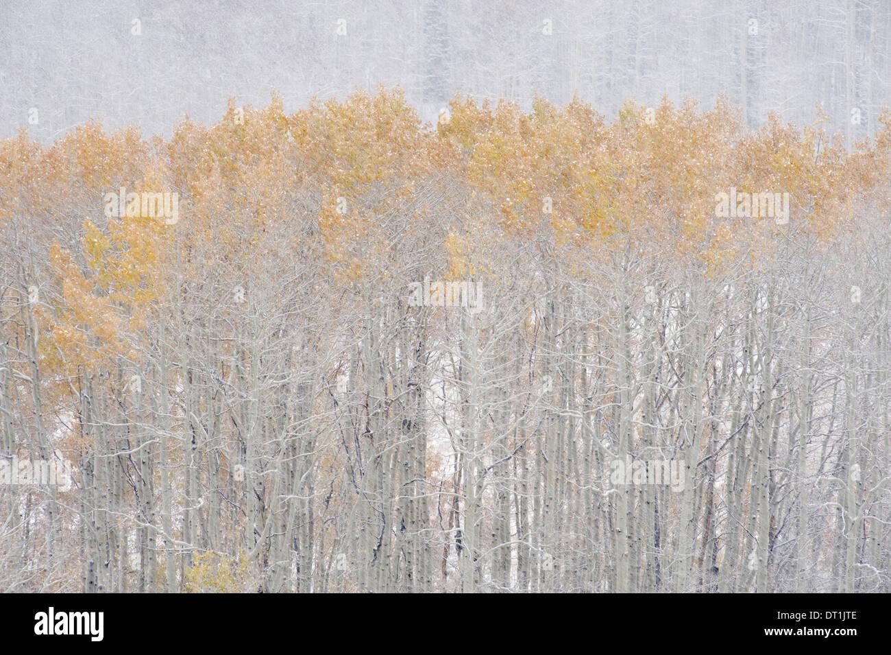 Espe Bäume im Herbst während Schnee fallen die Wasatch Berge in Utah Stockbild