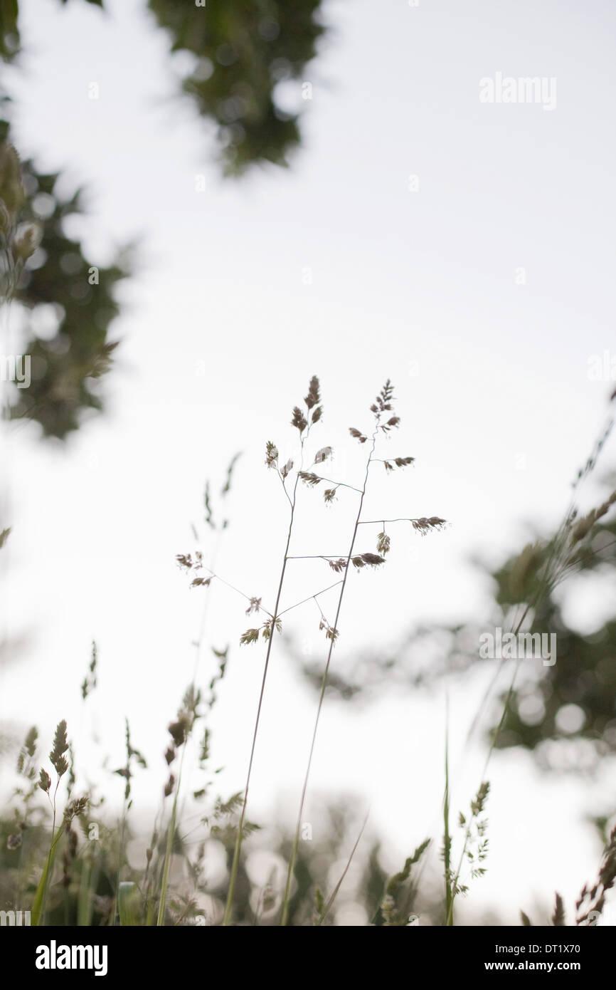 Zarte Gräser gegen den Himmel gesehen Stockbild