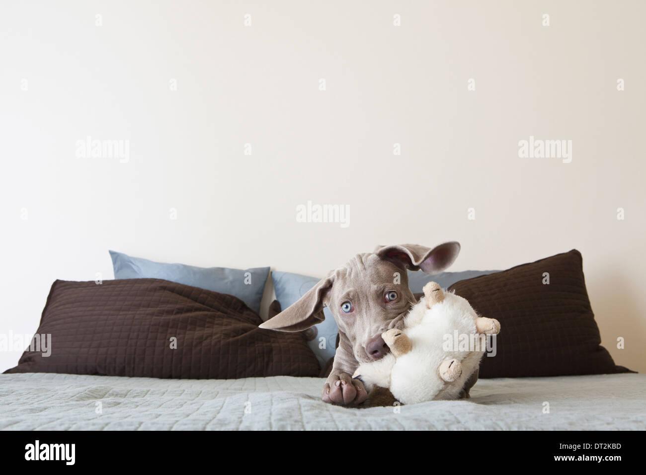 Ein Weimaraner Welpe spielen auf einem Bett mit Stofftier im Maul Stockbild