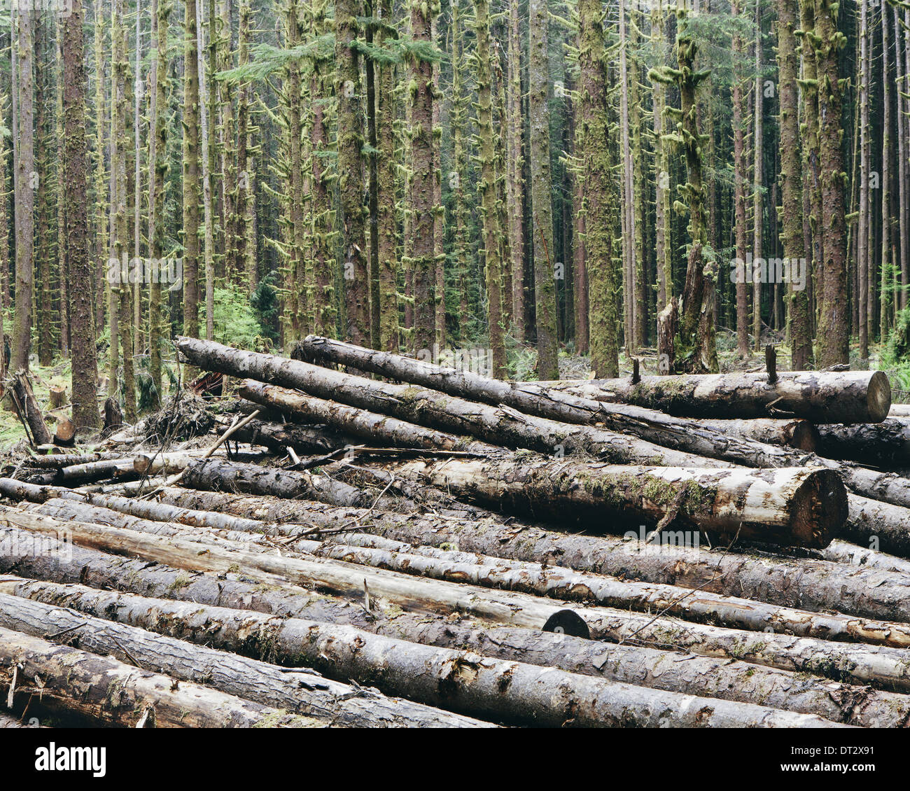 Geschnitten Sie Protokolle der Sitka-Fichte und Western Hemlock in gemäßigten Regenwald Hoh Regenwald Olympic NF vor kurzem Stockbild
