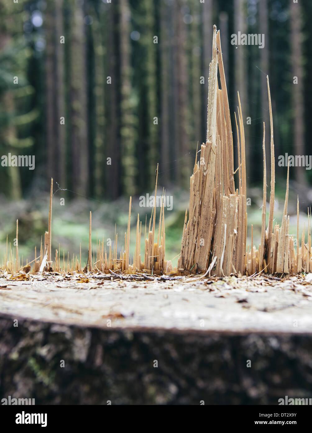Vor kurzem angemeldet Sitka-Fichte Baum im Vordergrund gemäßigten Regenwald in Ferne Hoh Regenwald Olympic NF Stockbild