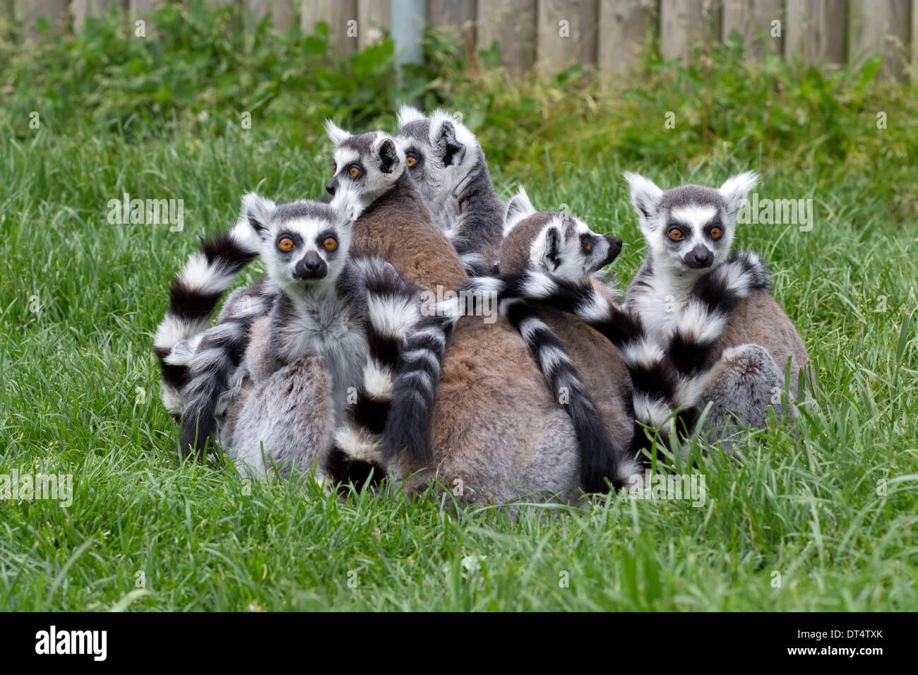 Ring-tailed Lemuren in Afrika lebt, eine Safari Sehenswürdigkeit in der Nähe von Lowestoft, Suffolk, England, UK. Stockbild