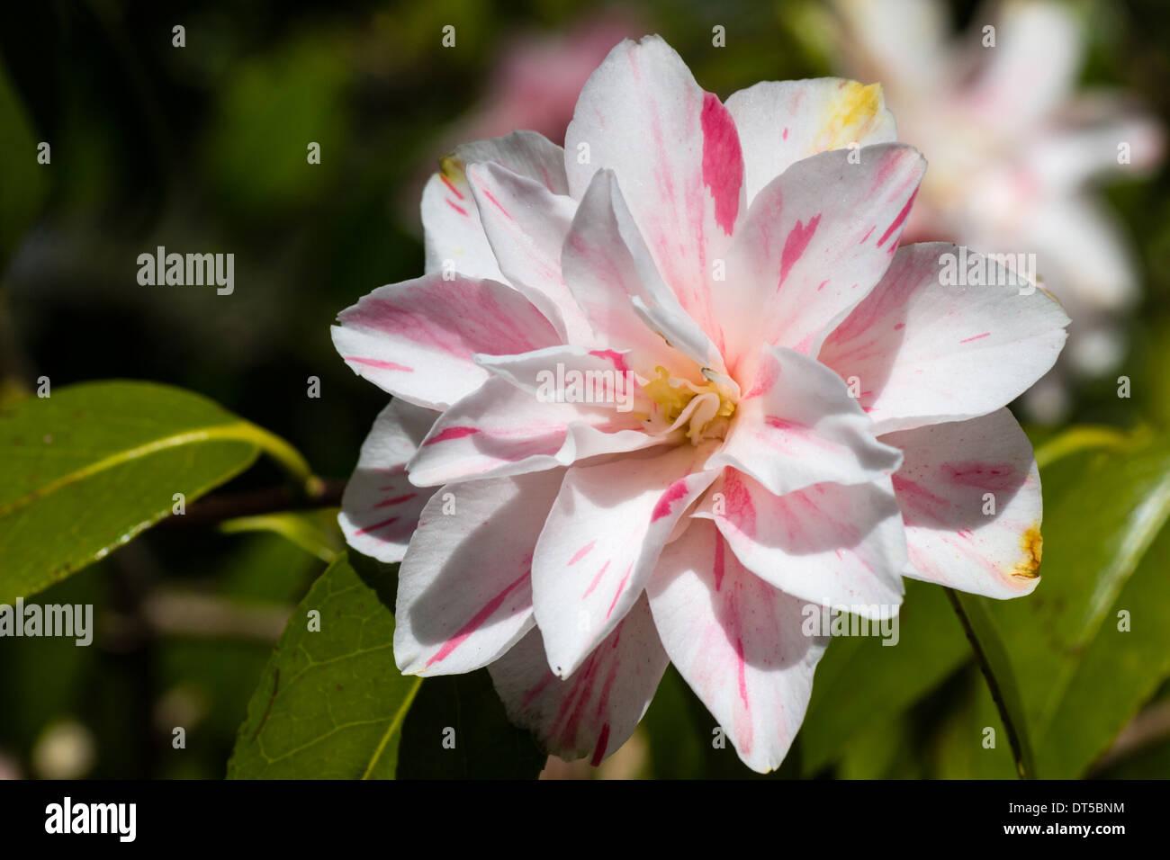 Camellia Japonica 'Lady Vansittart Blush' Stockbild