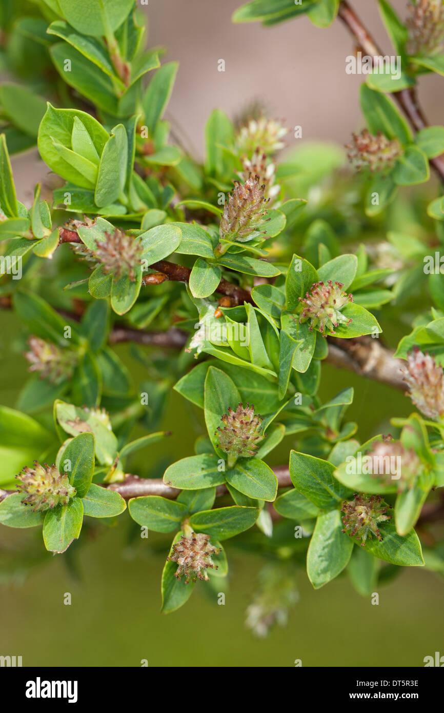 Blue willow, blaue Leaved Weide, Blaugrüne Weide, Hechtblaue Weide, Salix caesia Stockbild