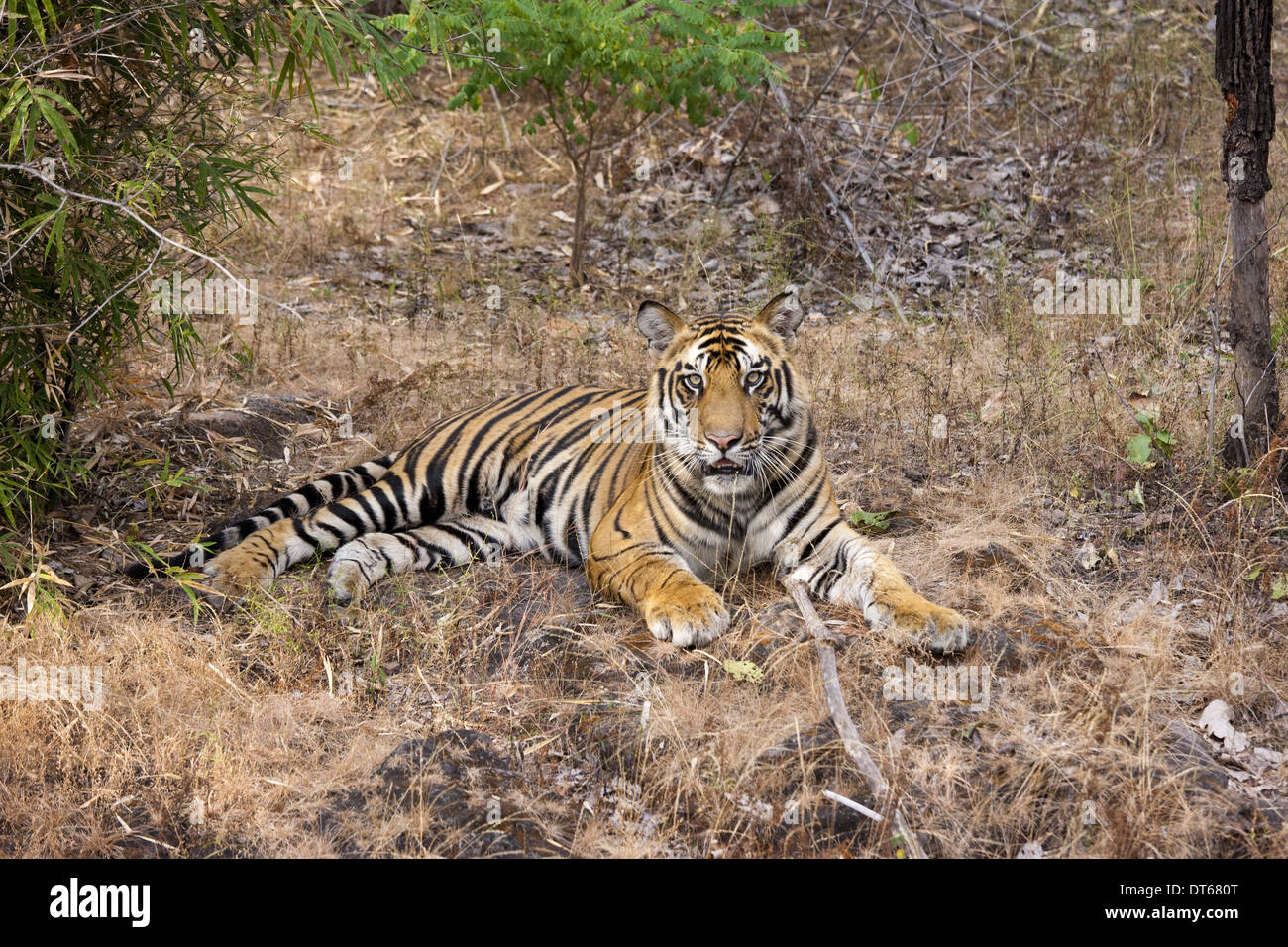 Ein Tiger in Bandhavgarh National Park, Indien Stockbild