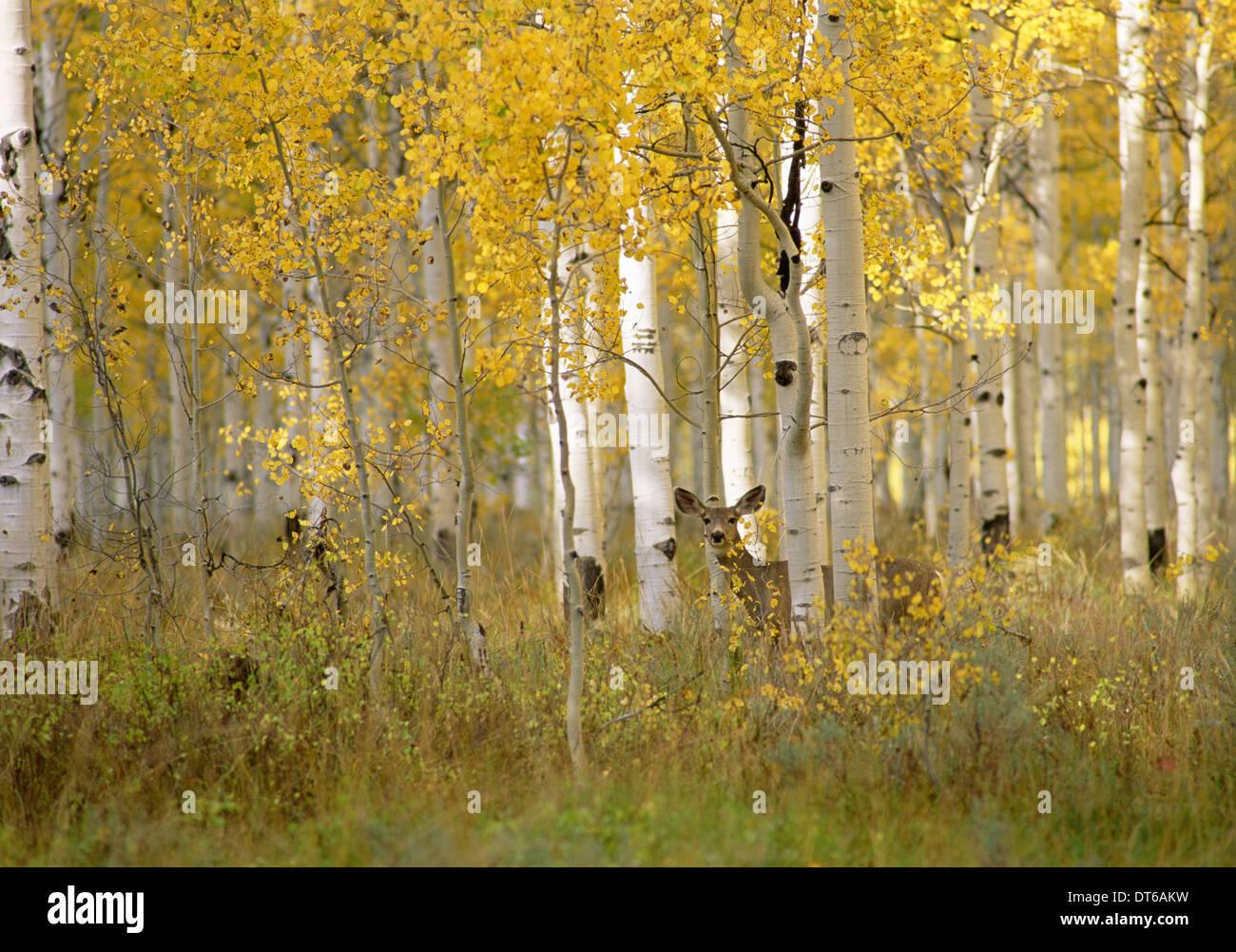 Herbst im Uinta National Forest. Ein Reh in die Espe Bäume. Stockbild
