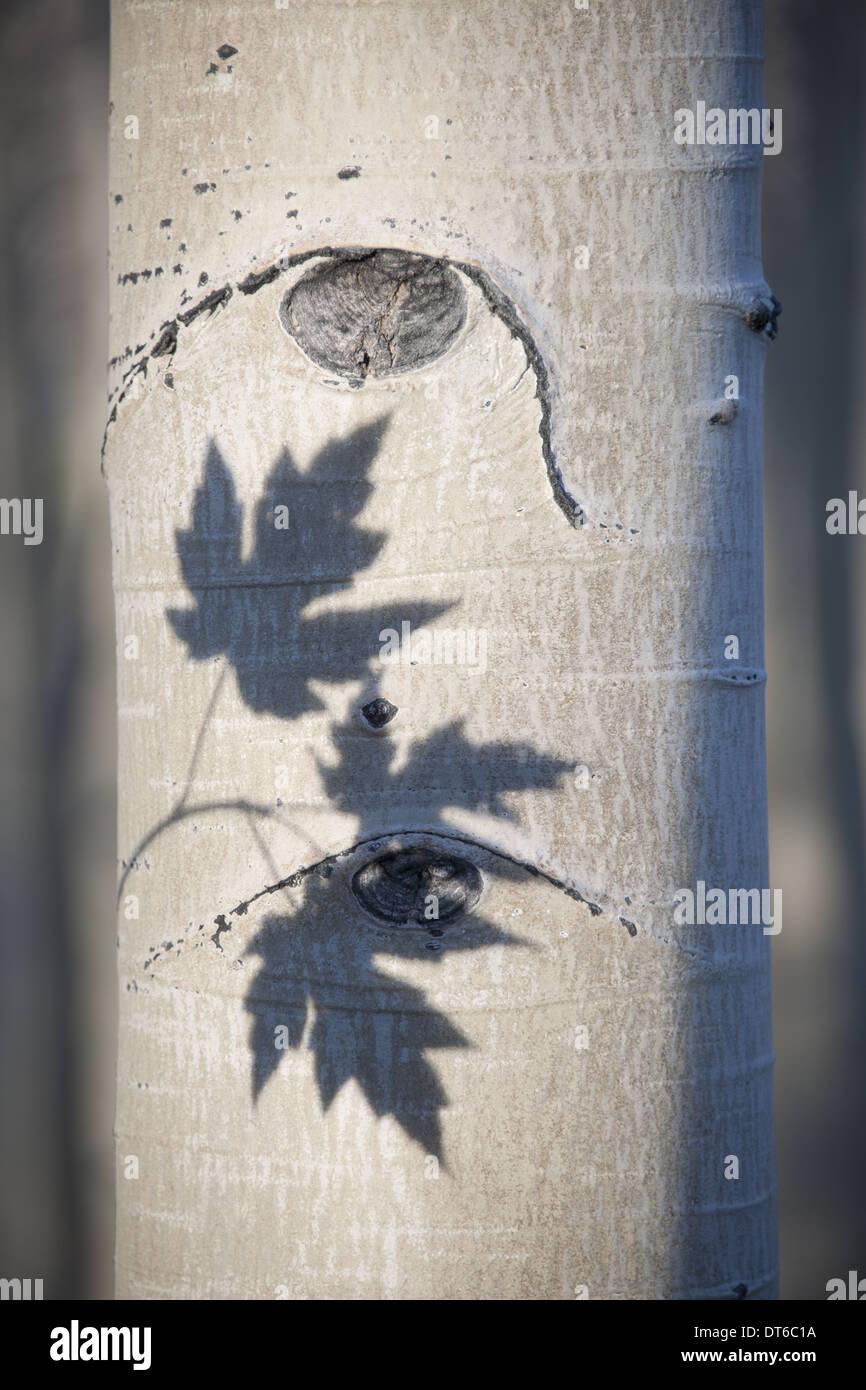 Ein Espenbaum mit glatten weißen Rinde. Umriss Schatten der drei Ahornblätter auf dem Stamm. Stockbild