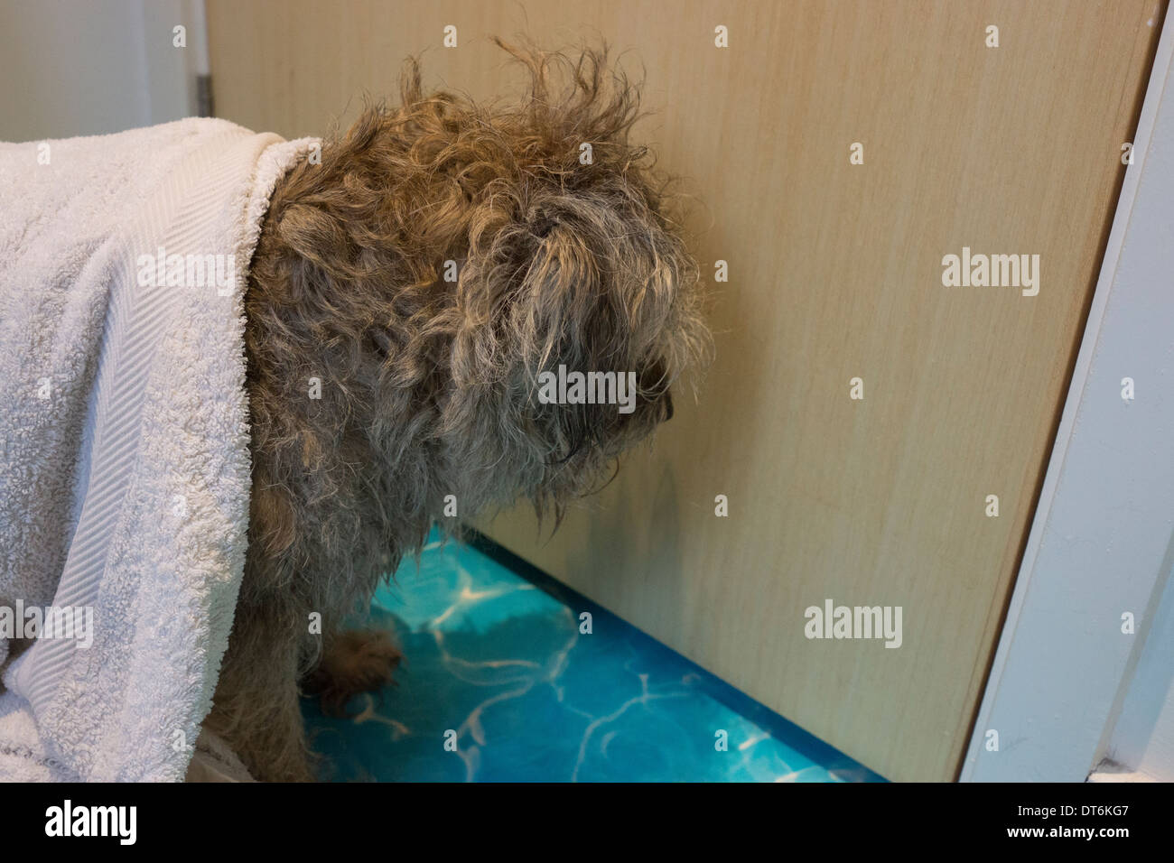 Gut Border Terrier Inländische Hund Bad Shampoo Stockbild